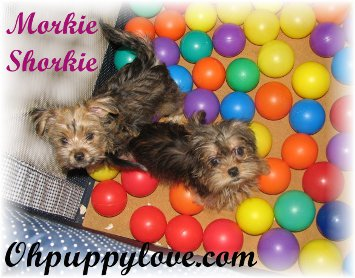 morkies for sale,shorkies for sale,maltipoos for sale,morkie puppy for sale,shorkie puppies for sale,maltipoo puppies for sale,chicago,illinois,wisconsin,morkies il,shorkie il,maltipoo il,dogs for sale,puppies for sale,dog breeds,morkie breeder il,morkie breeder wi,shorkie breeder wi,shorkie breeder il,maltipoo breeder wi,maltipoo breeder il,morkie new york,morkie breeder new york,morkie puppies for sale new york,shorkie breeder new york,shorkie breeder nyc,shorkie breeder ny,morkie breeder nyc,morkie breeder ny,shorkie puppies for sale new york,shorkie puppies for sale nyc,maltipoos for sale new york,maltipoos for sale nyc,maltipoos for sale ny,morkies for sale nyc,morkies for sale ny,shorkies for sale nyc,shorkie for sale nyc,shorkie for sale nyc,morkie for sale ny,morkie for sale nyc,maltipoo for sale ny,maltipoos for sale nyc,maltipoo puppies for sale nyc,maltipoo breeder ny,maltipoo breeder nyc,shorkies michigan,shorkie breeder michigan,morkie michigan,morkie michigan,morkie breeders nyc,morkie breeders ny,morkie breeders wi,morkie breeders illinois,morkie breeders il,morkie breeders wi,morkie breeders chicago,morkie breeders ny,shorkie breeders mi,shorkie breeders nyc,shorkie breeders nyc,shorkie breeders mi,maltipoo breeders wi,maltipoo breeders mi,maltipoo breeders michigan,maltipoo breeders il,maltipoo breeders illinois,maltipoo breeders chicago,maltipoo breeders ny